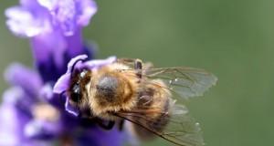 Montecitorio impegna il Governo Renzi a proteggere l'apicoltura nazionale