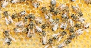 Difendere le coltivazioni nazionali messe a rischio dalla moria delle api. Si punta a contromisure ai pesticidi tossici ed alla vespa velutina importata dalla Cina