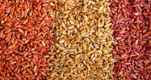 Approvata all'unanimità la risoluzione per dire no al regolamento unico sulle sementi, per tutelare la biodiversità e frenare gli OGM