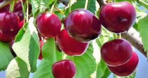 Per fronteggiare la crisi che sta colpendo i produttori di ciliegie, l'unica alternativa è quella di unire le forze in Organizzazioni di Produttori (OP)
