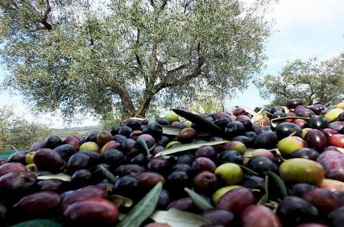 Previsto dalla legge 91 del luglio scorso, il piano olivicolo nazionale non ha ancora visto la luce. A rischio i primi 4 milioni di euro