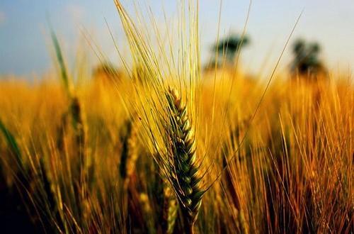 Al question time M5S sulla guerra del prezzo sul grano, il Governo replica con azioni che, però, mostrano più dubbi che certezze
