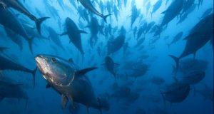 L'aumento del 20% della quota di tonno rosso per il 2016 non viene destinata da Ue e Governo alla pesca sostenibile ma alle lobby dei grandi armatori