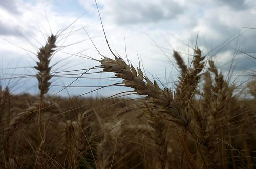 Per superare la crisi del grano, il M5S invoca i decreti attuativi della 91/2015 e presenta al contempo una risoluzione con il piano cerealicolo