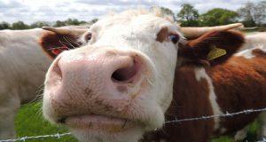 """Parere M5S in Commissione Agricoltura al dl Enti Locali in virtù delle attese misure sul """"latte"""". Mancano interventi strutturali"""