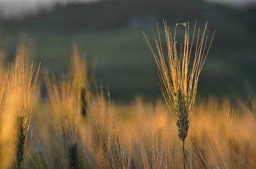 In Commissione Agricoltura alla Camera si discutono le risoluzioni sul comparto cerealicolo. Ecco le proposte M5S salva grano