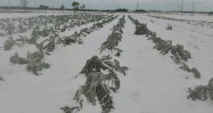 L'agricoltura pugliese è in ginocchio a causa del maltempo ma si potrebbe sostenere sia in Regione con il PSR sia con il FSN