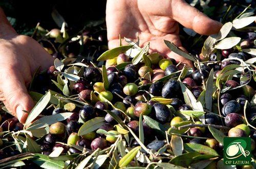 Il tracollo della produzione di olio evo si fronteggia solo con l'attuazione del Piano olivicolo nazionale fortemente voluto dal M5S