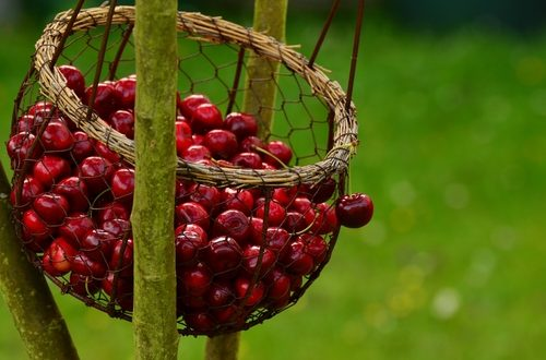 Con la nuova raccolta delle ciliegie, ecco i problemi di sempre. Per riorganizzare la filiera, garantendo trasparenza e redditività servono OP e Cun