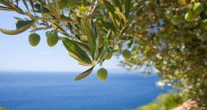 Qualità immutata e nessuna diffusione del batterio Xylella fastidiosa con l'olio di oliva pugliese. Le risposte alla guerra commerciale