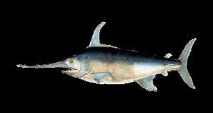 Con un valore della pesca illegale pari a oltre 25 milioni di euro, il M5S chiede che non si verifichino nuovamente le storture già messe in pratica nel comparto del tonno rosso anche per il pesce spada