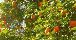 10 milioni di euro per il Fondo agrumicolo. Obiettivi: sostegno al rinnovo varietale e campagne di comunicazione per promuovere il prodotto nazionale