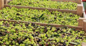 Replica all'allarme lanciato da Coldiretti. Per l'intera olivicoltura in Salento sono stati stanziati 370 milioni di euro, anche per i frantoi