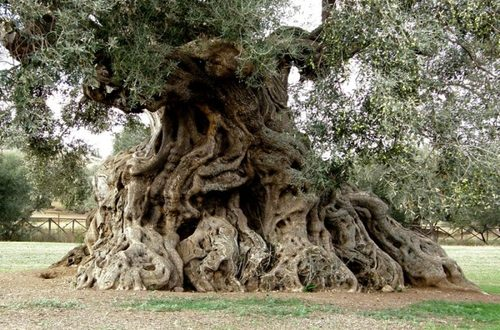 Il Governatore Michele Emiliano dimentica di approvare il protocollo a difesa degli ulivi monumentali colpiti dalla Xylella fastidiosa